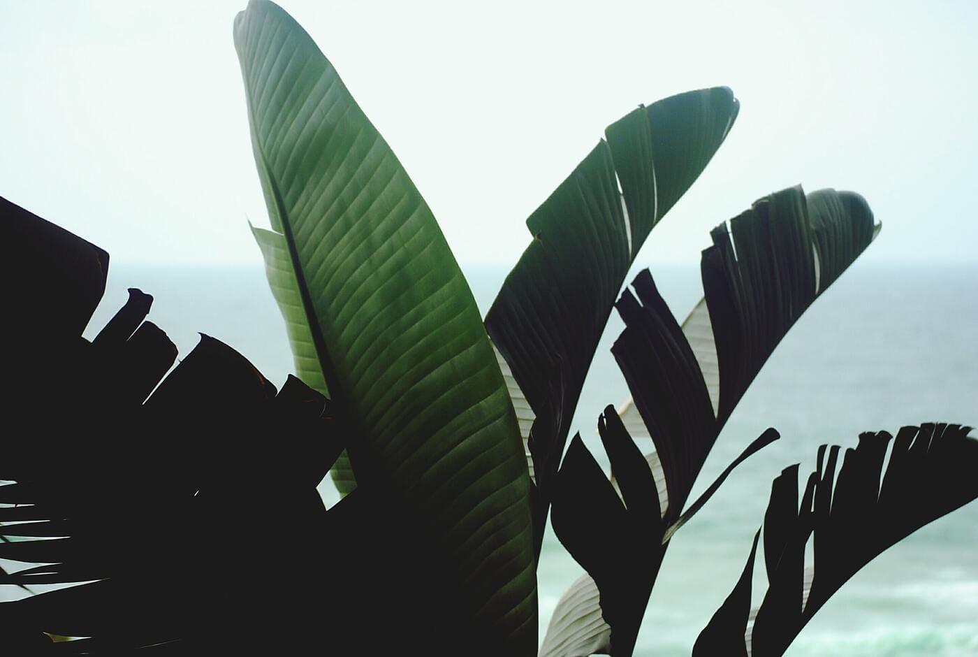 feuille-bananier