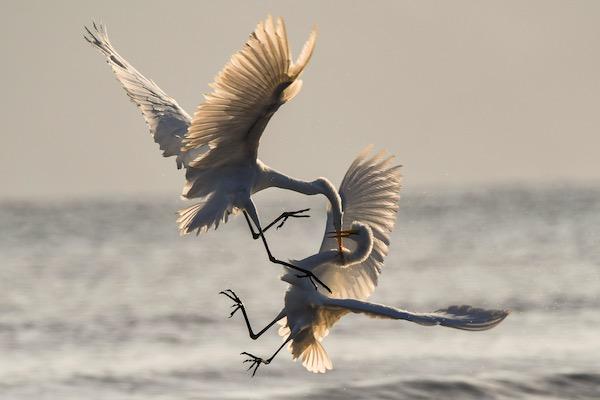 Birds in conflict