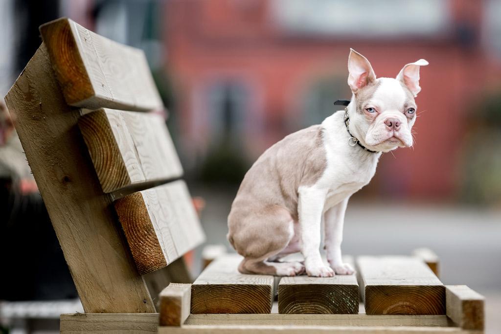 albino-boston-terrier