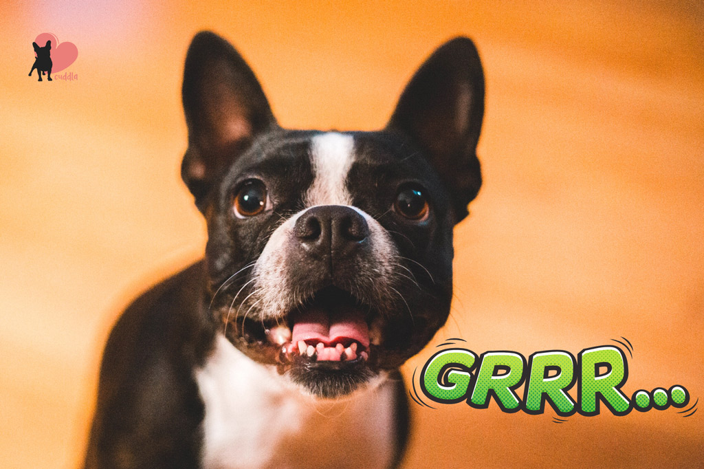 are-boston-terriers-aggressive