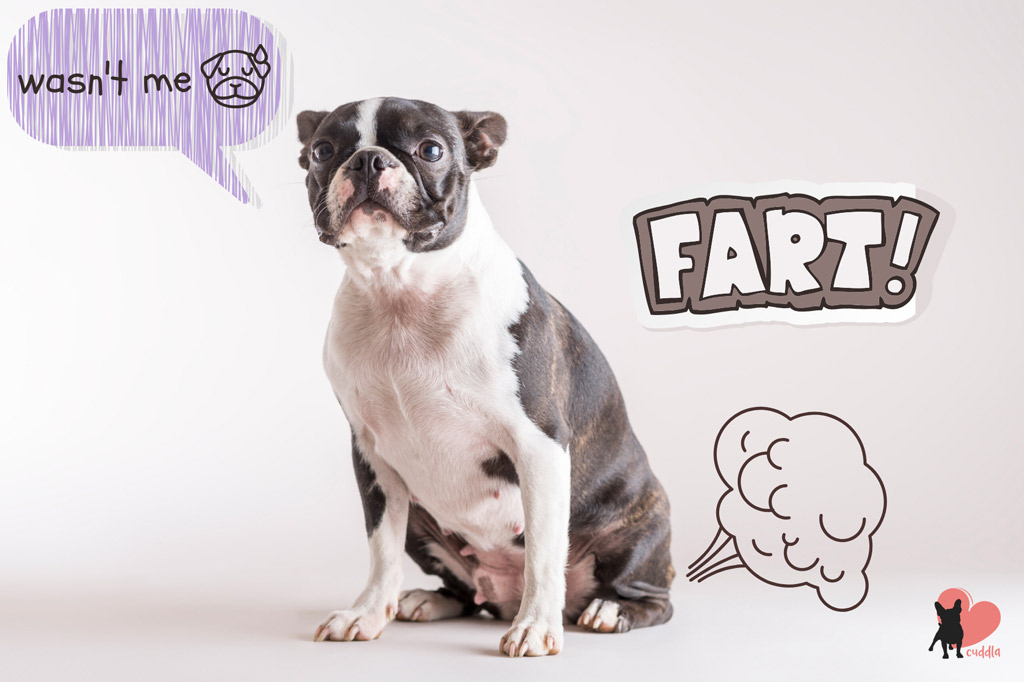 are-boston-terriers-gassy