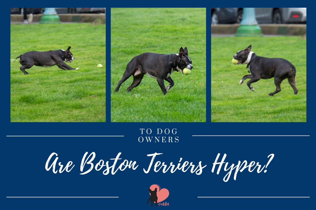 are-boston-terriers-hyper