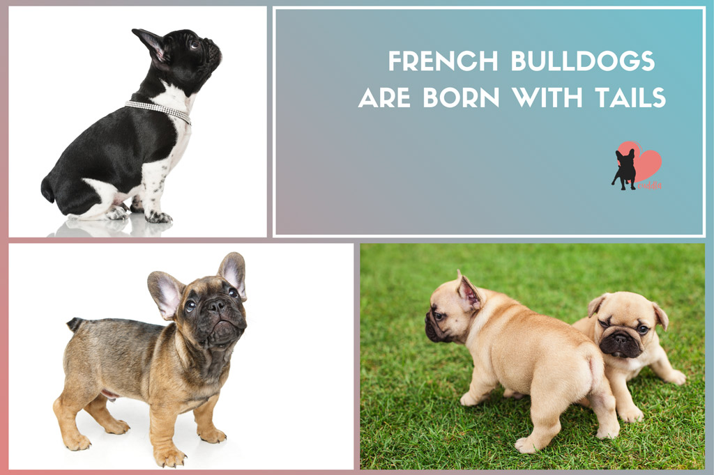are-french-bulldogs-born-with-tails