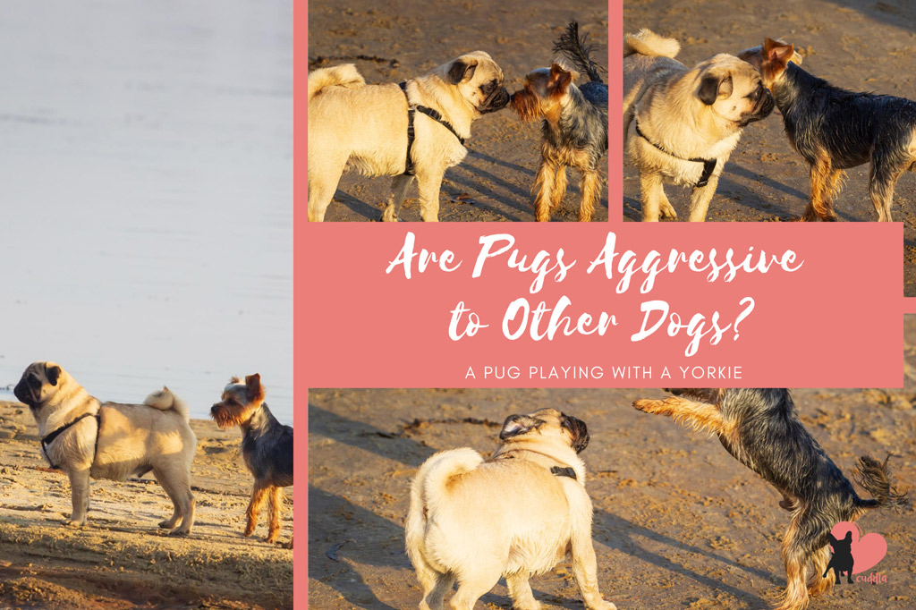are-pugs-aggressive-to-other-dogs