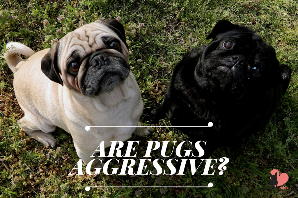 are-pugs-aggressive