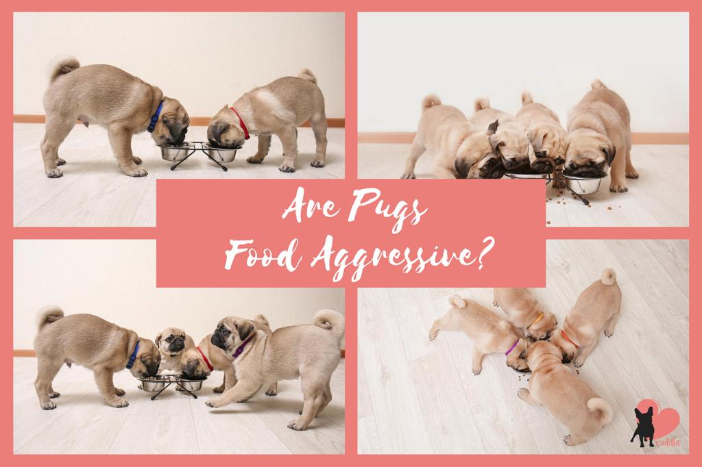 are-pugs-food-aggressive