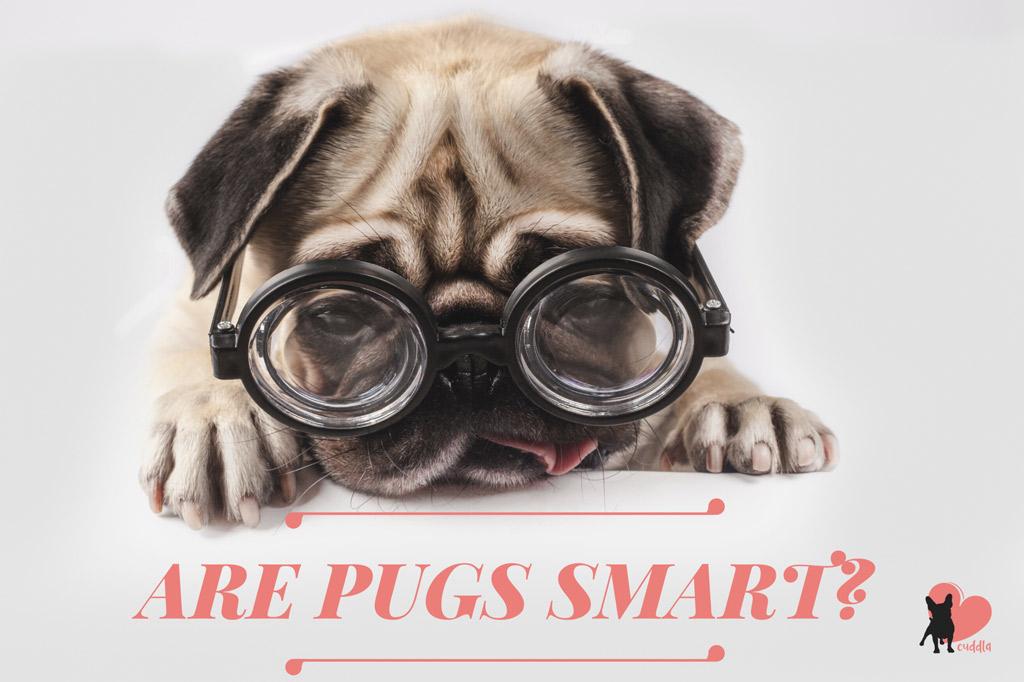 are-pugs-smart