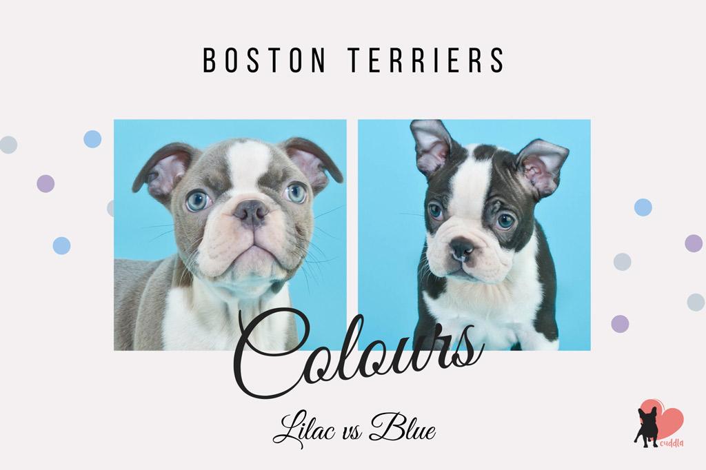 blue-boston-terrier