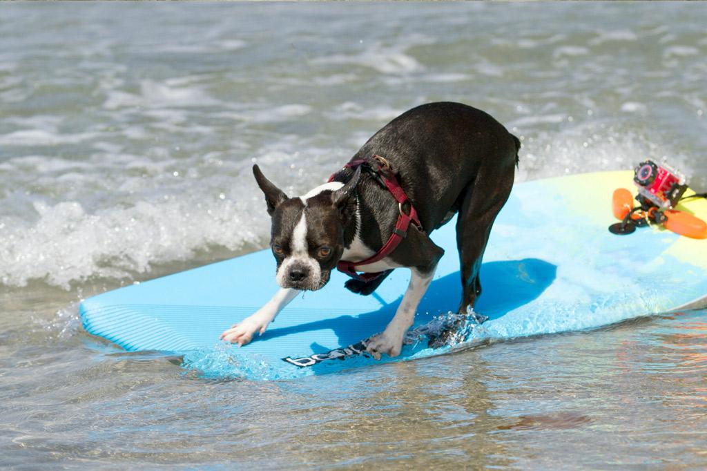 boston-terrier-activities-surfing