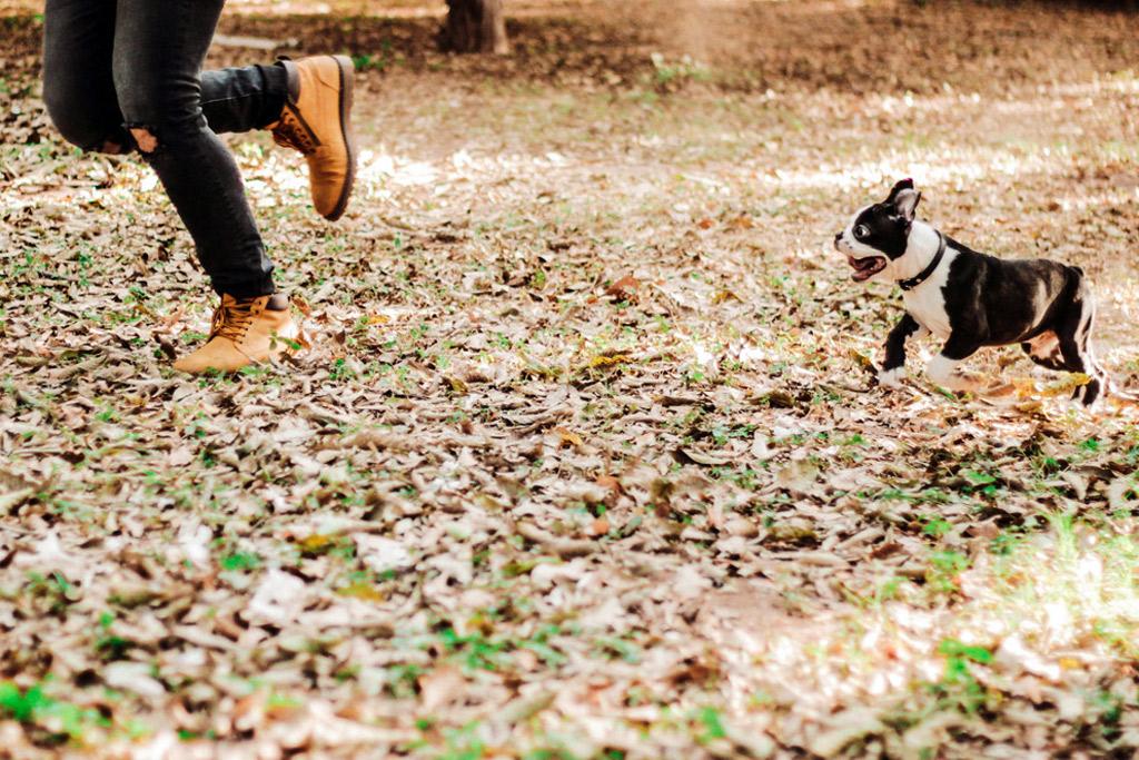 boston-terrier-activities