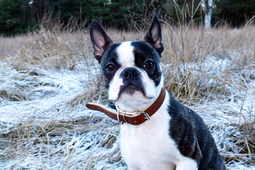 boston-terrier-adoption-process