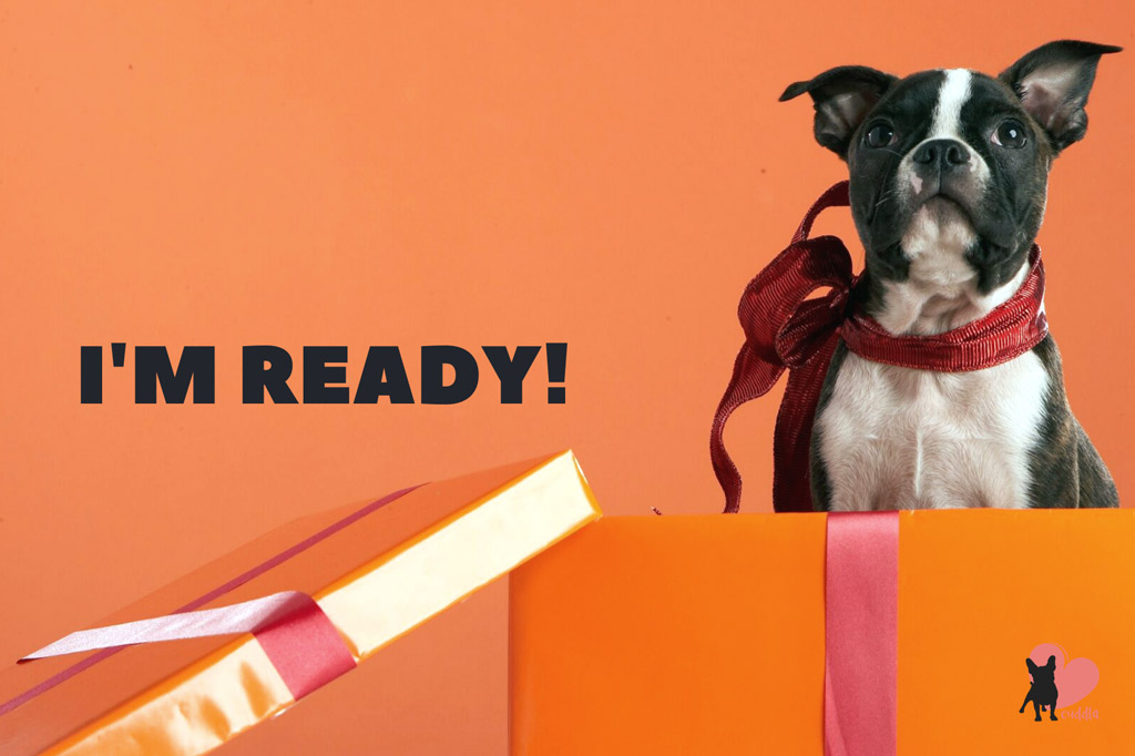 boston-terrier-adoption