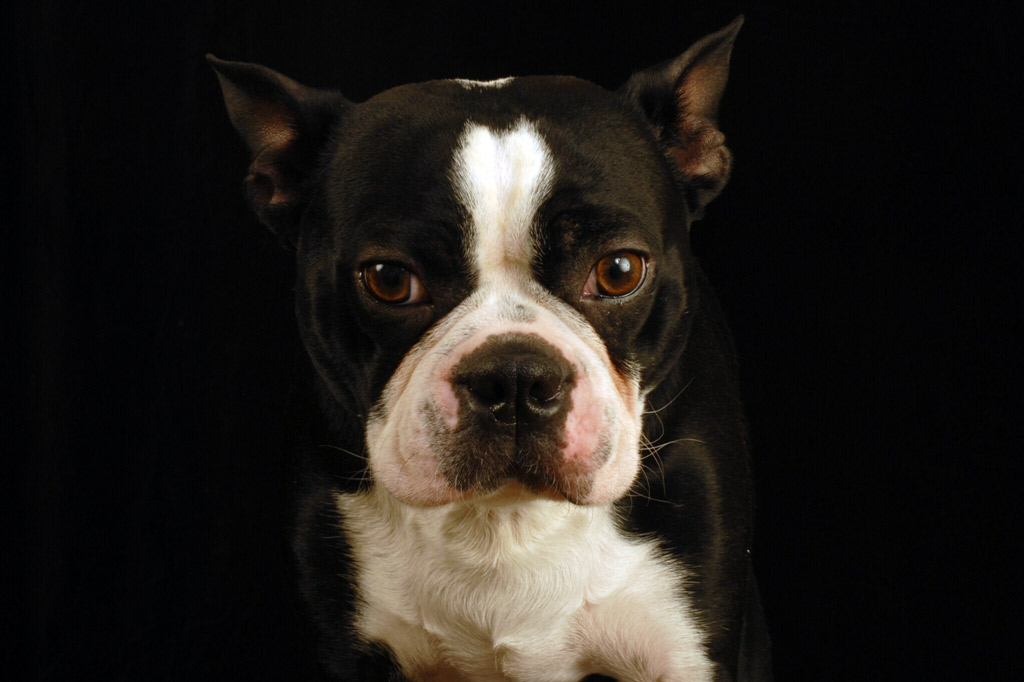 boston-terrier-aggressive-behaviour