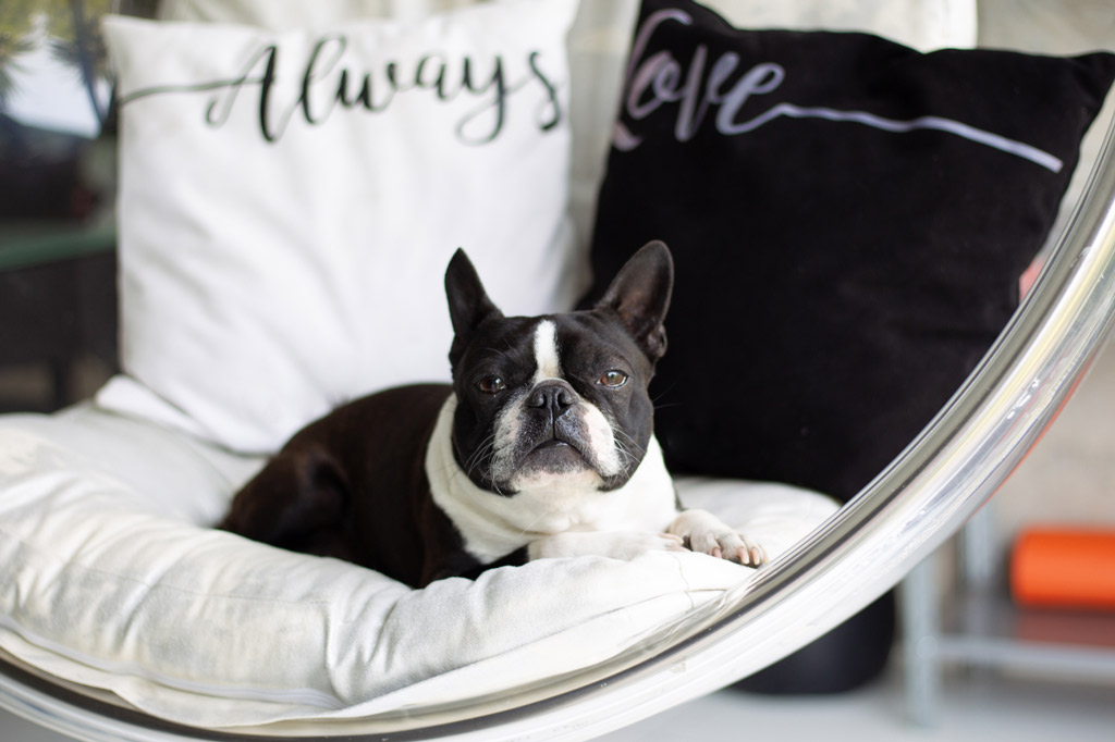 boston-terrier-at-home-alone