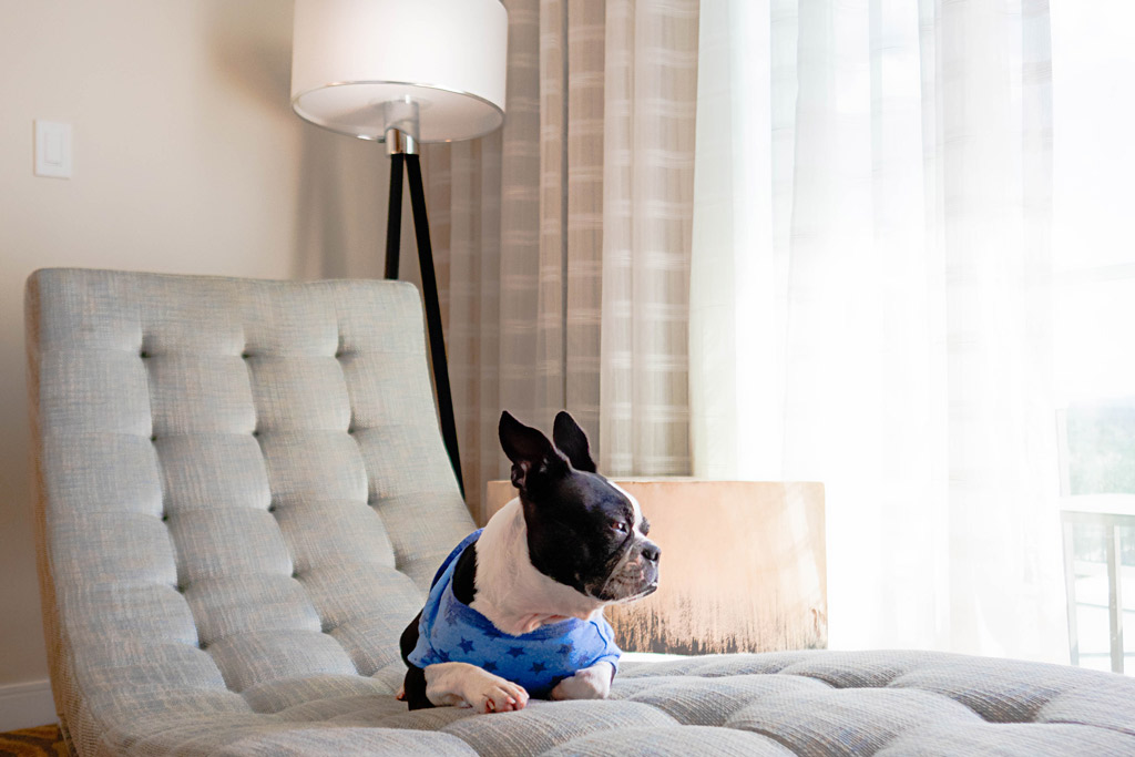 boston-terrier-at-home
