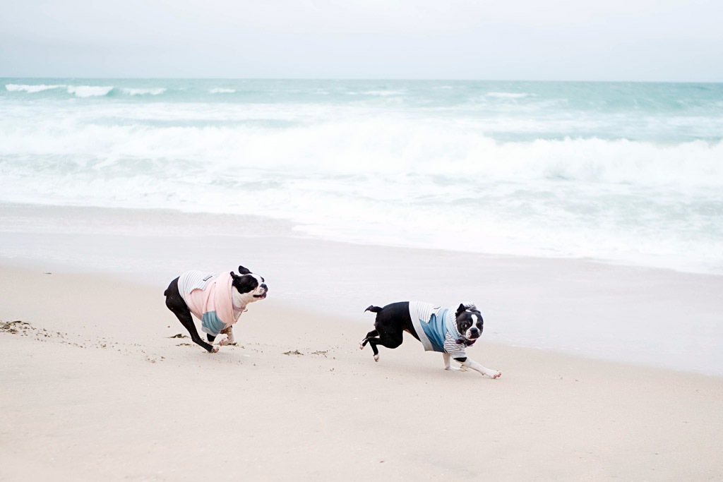 boston-terrier-at-the-beach