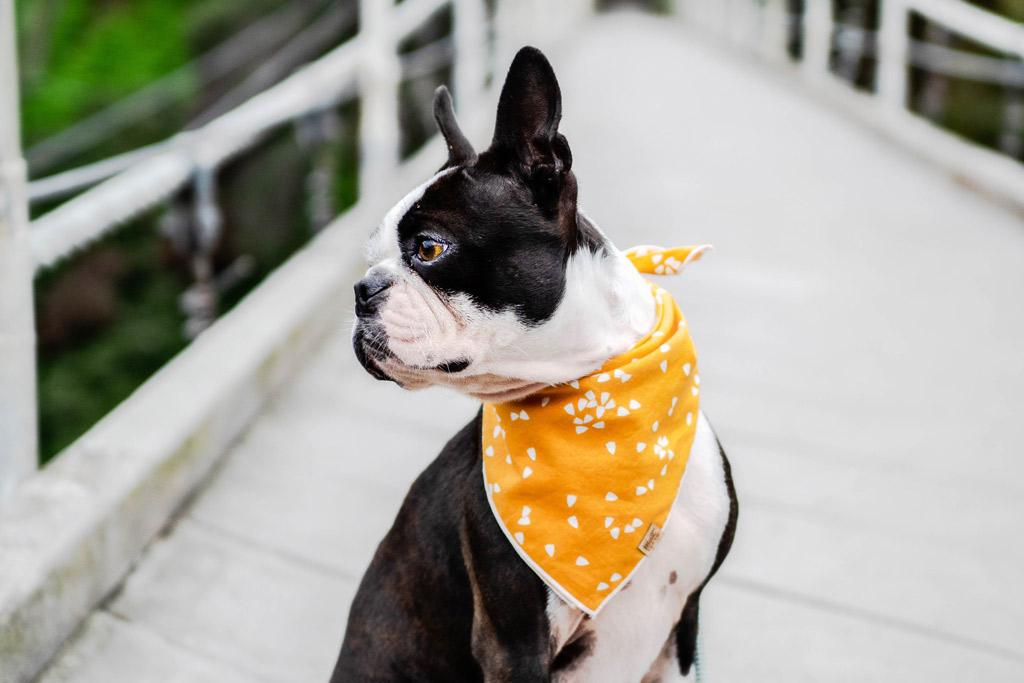 boston-terrier-bandana