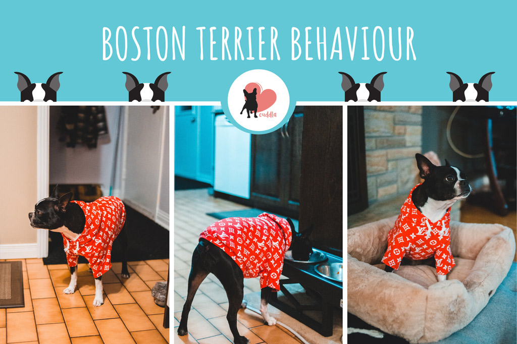 boston-terrier-behaviour