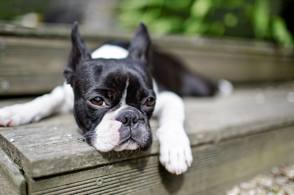 boston-terrier-bored