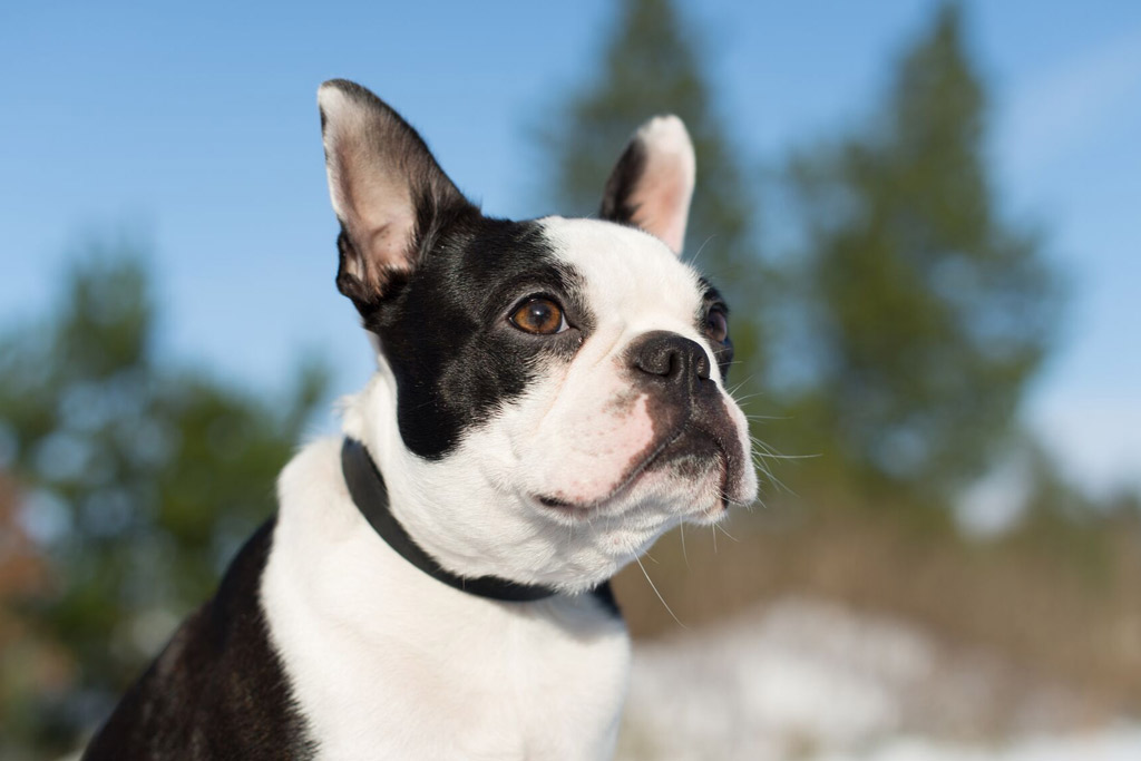 boston-terrier-brachycephalic-airway-syndrome