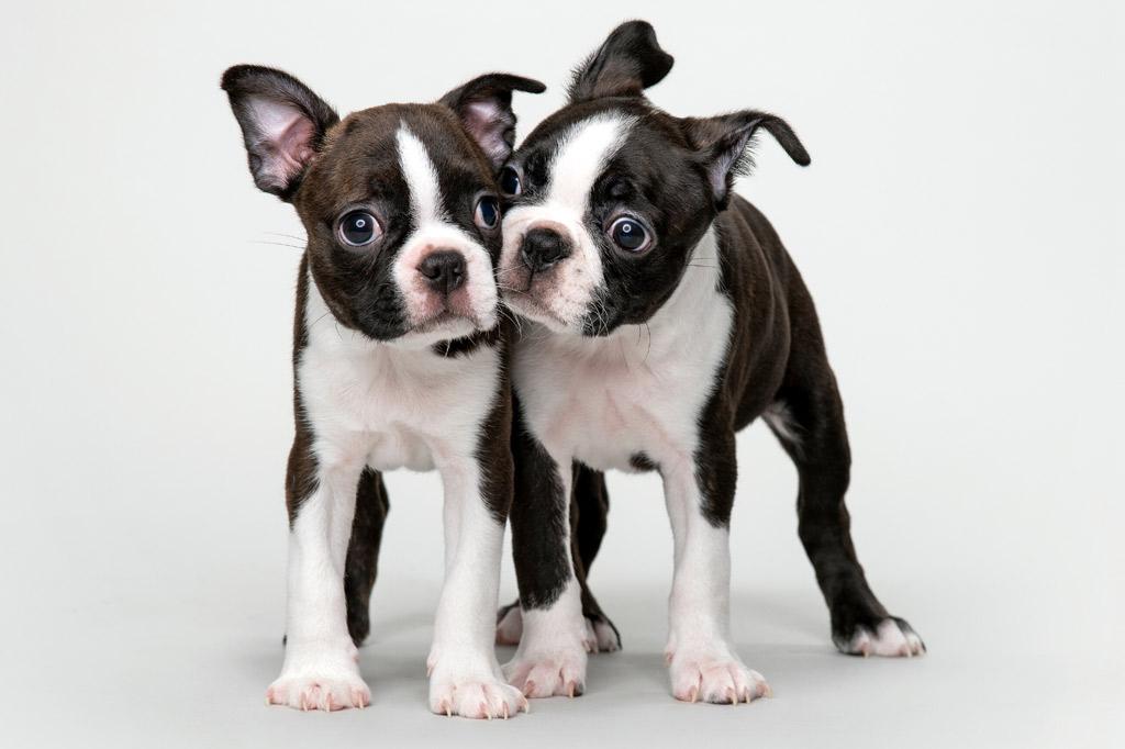 boston-terrier-breed-standards