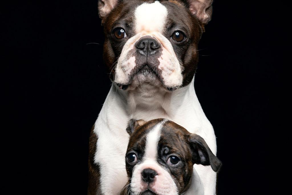 boston-terrier-breeder-questions