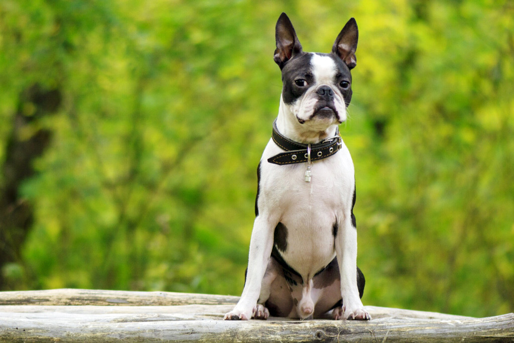 boston-terrier-care-costs