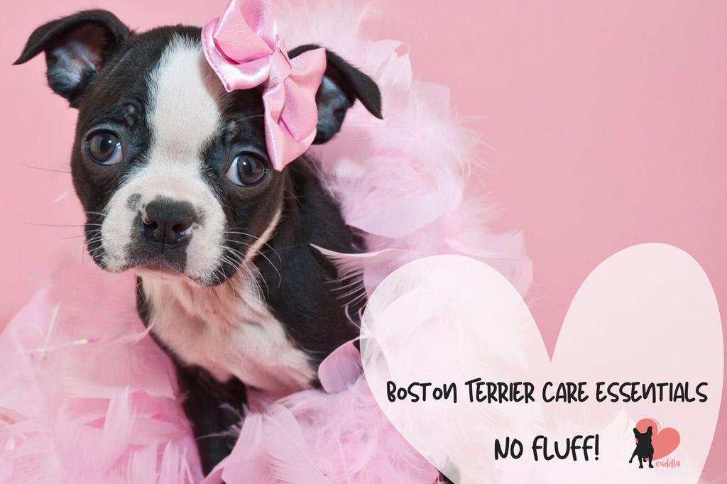 boston-terrier-care-essentials