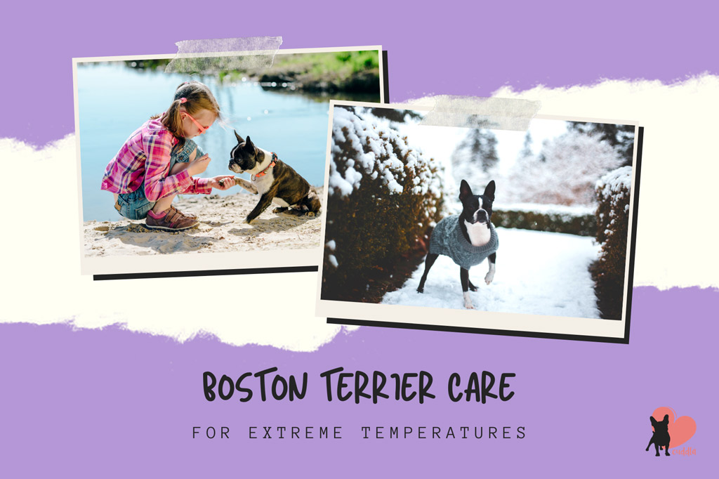 boston-terrier-care-for-extreme-temperatures