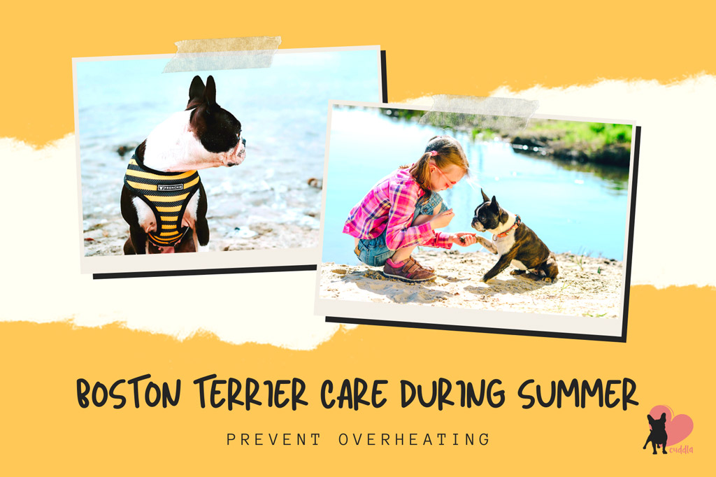 boston-terrier-care-in-summer