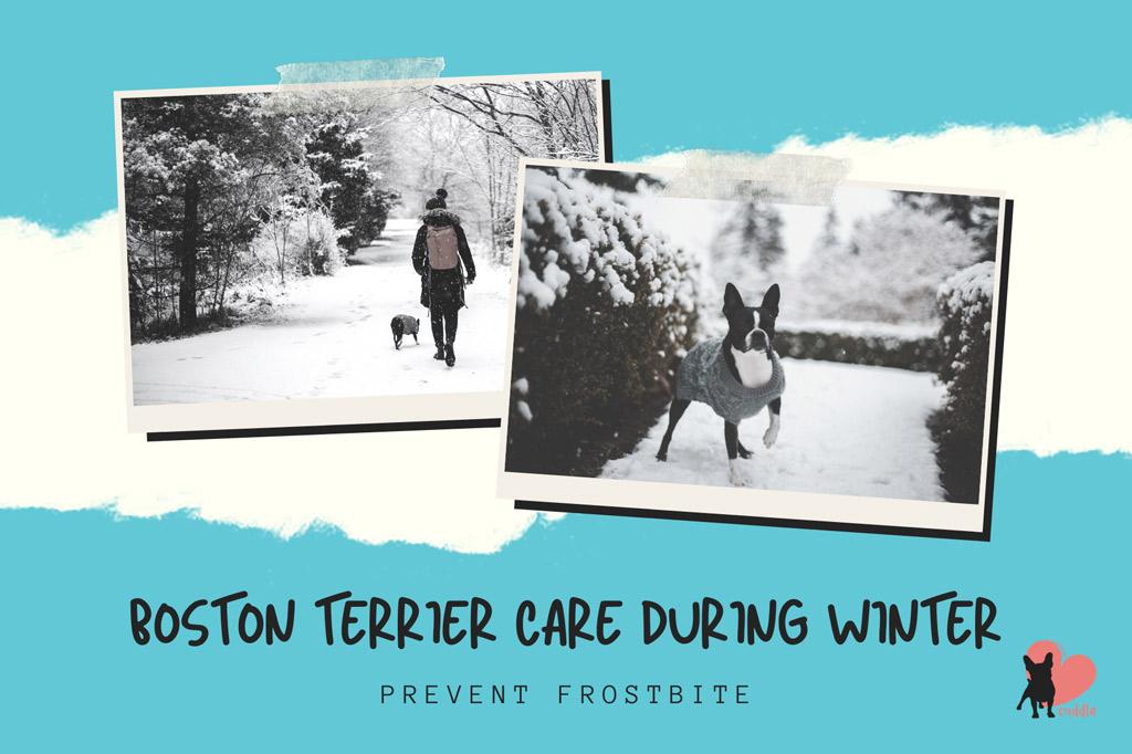 boston-terrier-care-in-winter