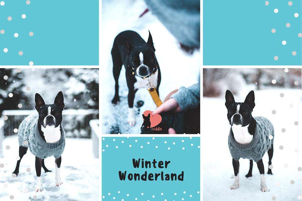 boston-terrier-cold-in-winter