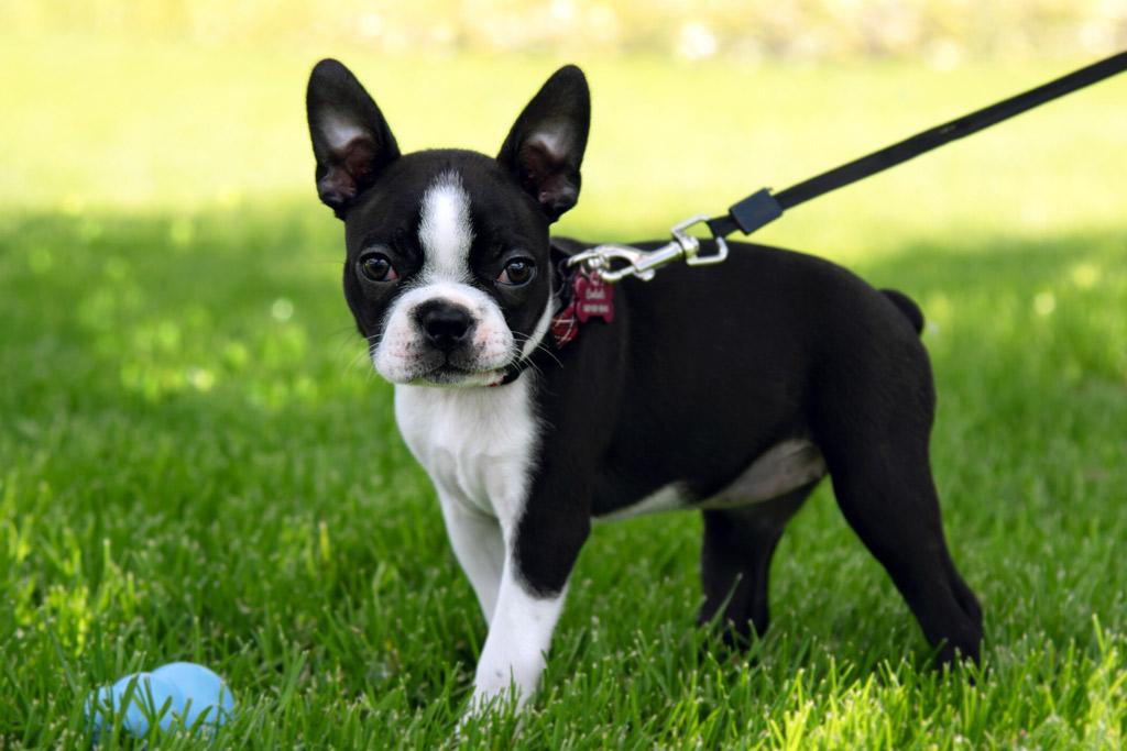 boston-terrier-colour-black-and-white