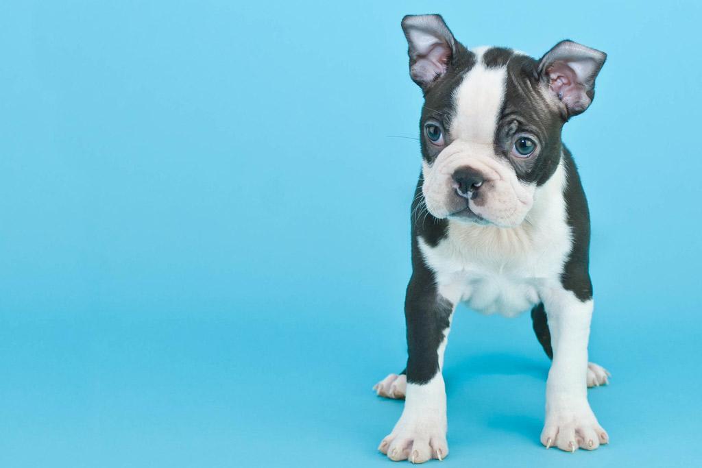 boston-terrier-colour-blue