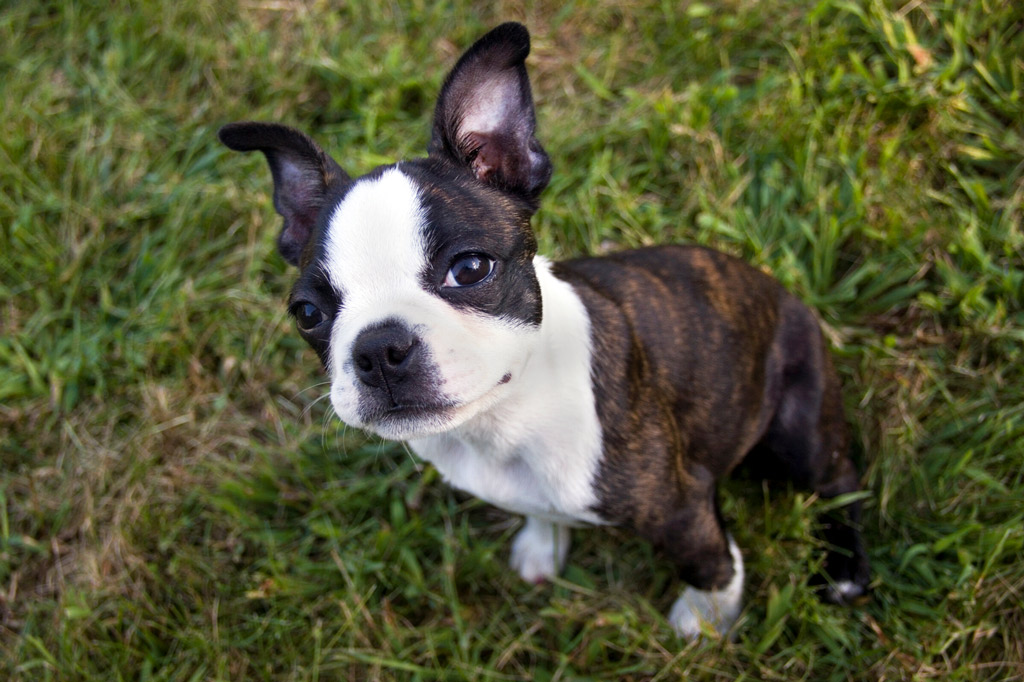 boston-terrier-colour-brindle-and-white