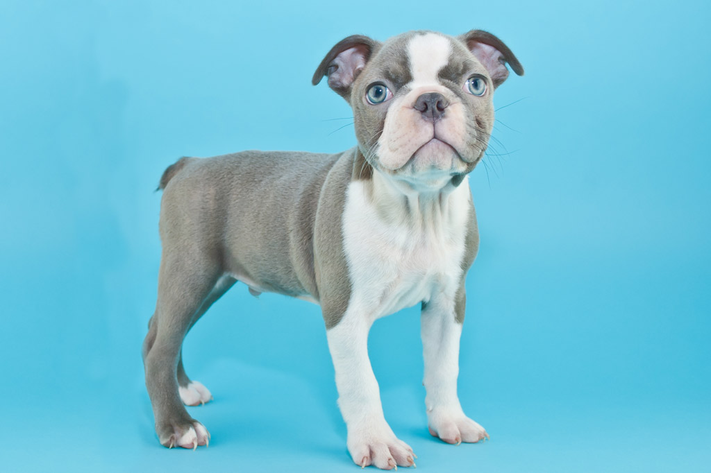 boston-terrier-colour-lilac