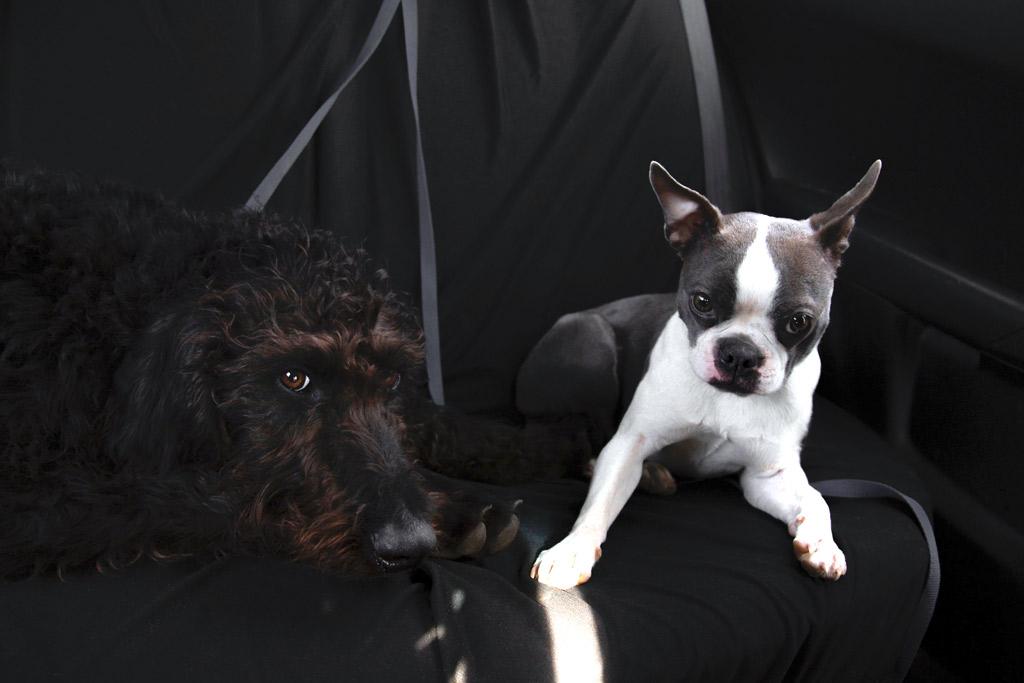 boston-terrier-colour-seal-and-white