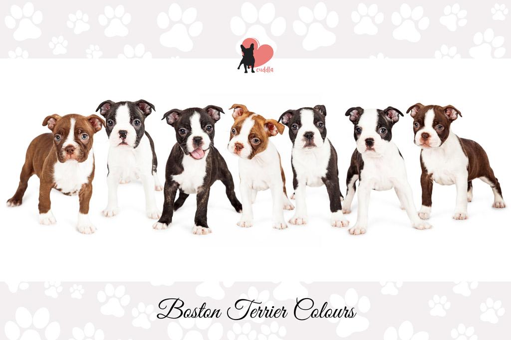 boston-terrier-colours