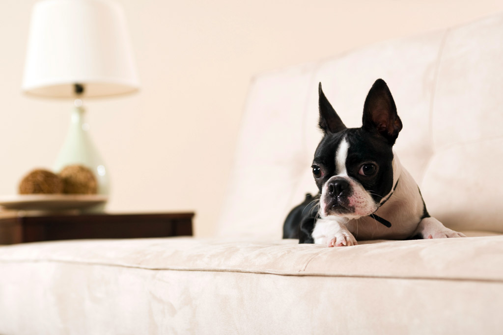 boston-terrier-commands-down