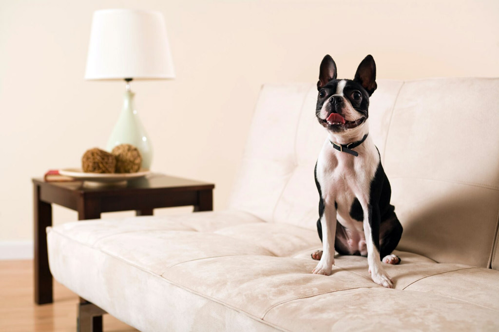 boston-terrier-commands-sit