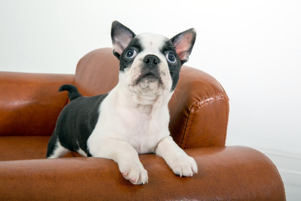 boston-terrier-corkscrew-tail