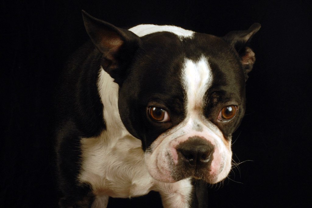 boston-terrier-crate-training-cons