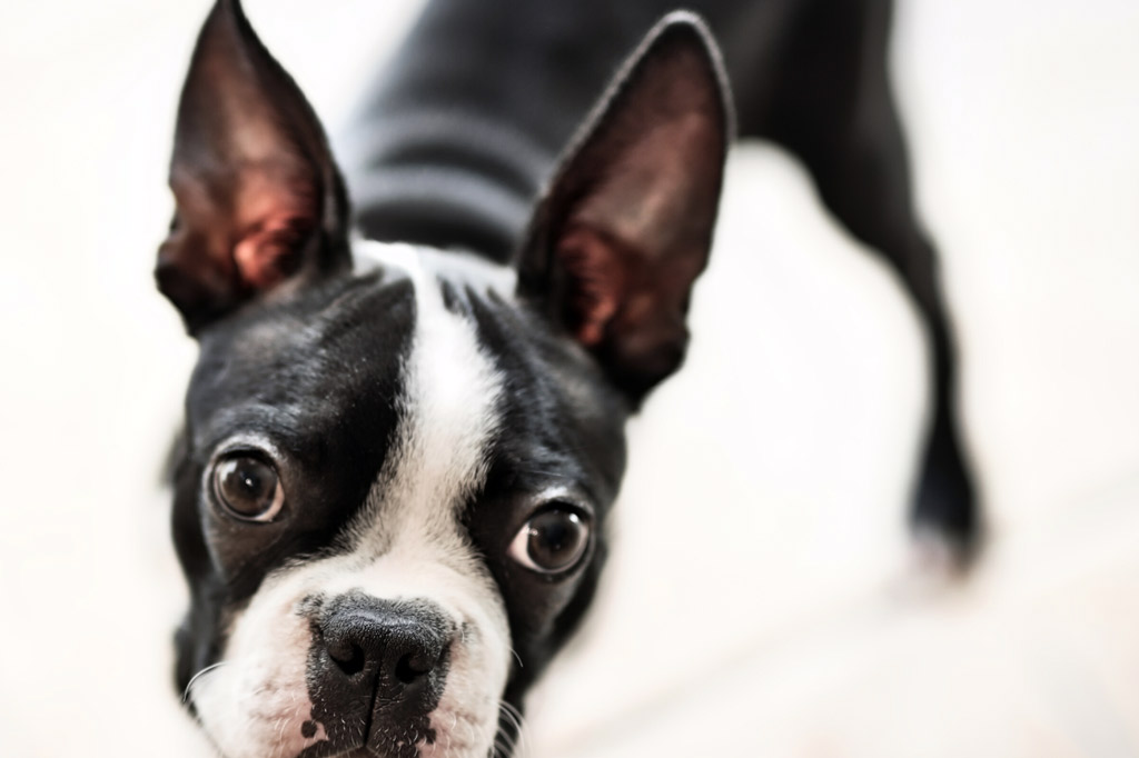 boston-terrier-crate-training-safety