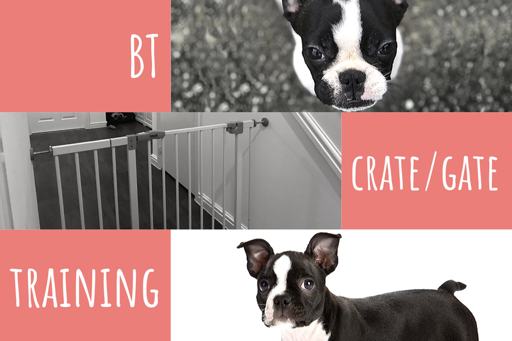 boston-terrier-crate-training