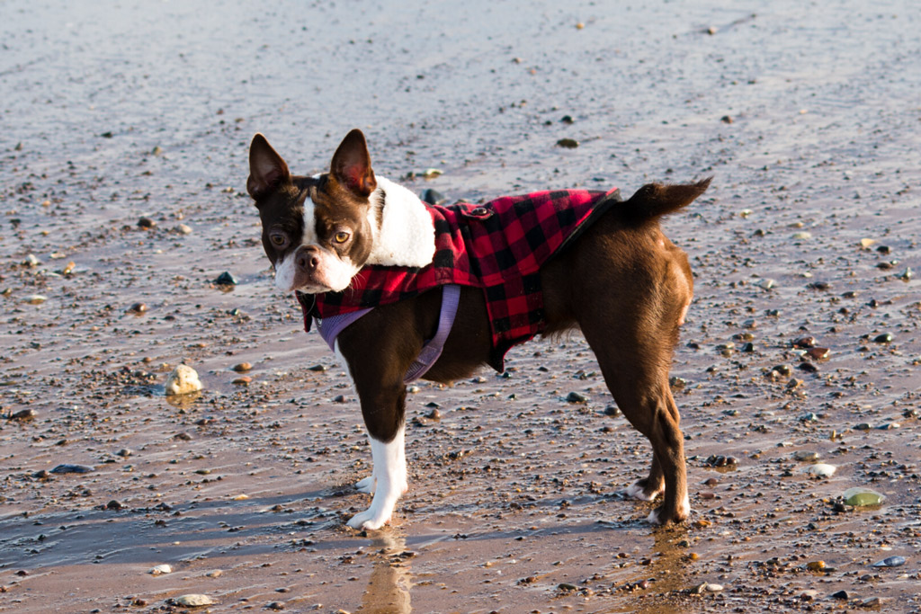 boston-terrier-crooked-tail