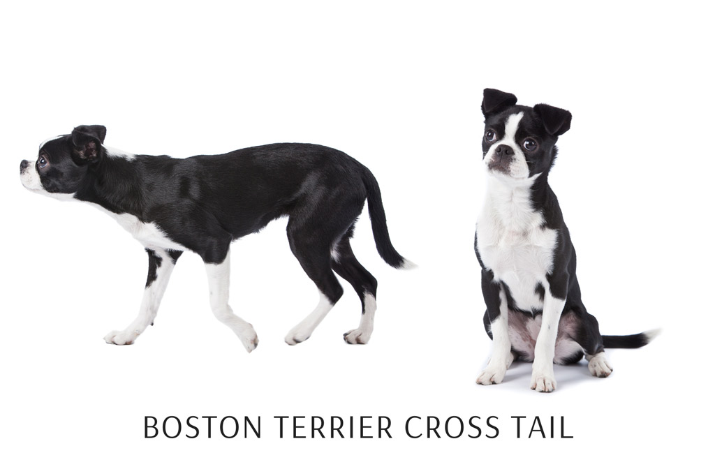 boston-terrier-cross-with-straight-tail