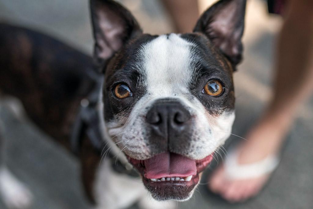 boston-terrier-dental-health