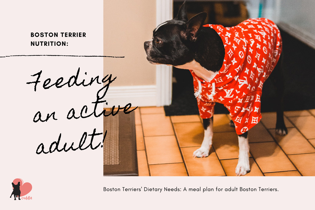 boston-terrier-dietary-needs-adult