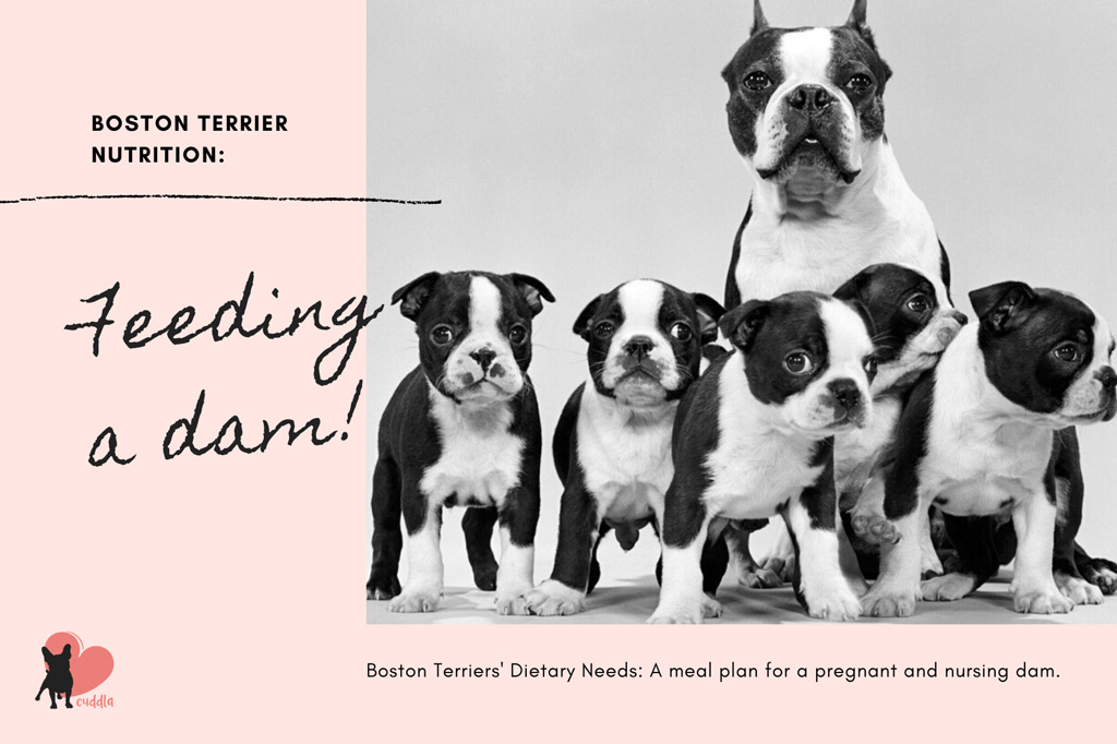 boston-terrier-dietary-needs-pregnant-and-nursing-dam