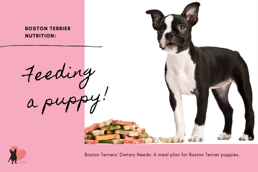 boston-terrier-dietary-needs-puppy